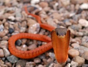 orange_cobra-1